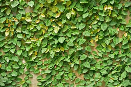 creeping plant: Creeping plant on the wall.