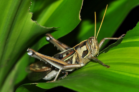 Close up of a grasshopper on green leaf.