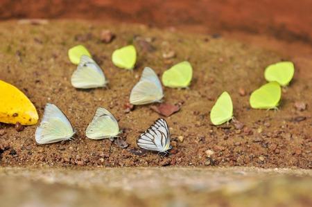 Butterflies standing on soil ground in Pang Sida national park, Sakaeo, Thailand.