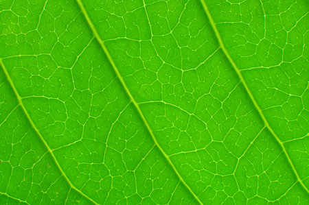 Green leaf texture for background.