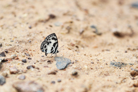 Butterfly standing on soil ground in Pang Sida national park, Sakaeo, Thailand.