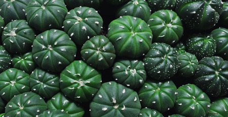 Close up of cactus plants in the pot. Stock Photo