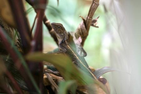 Oriental garden lizard or changeable lizard on a tree. 版權商用圖片