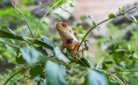 lizard in field: Camaleón Mantener un ojo vigilante