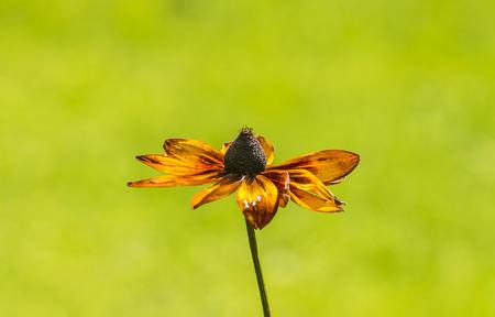 hirta: Black-Eyed-Susan flower or Rudbeckia Hirta flower on smooth bokeh background, at Nishat Bagh, Jammu and Kashmir