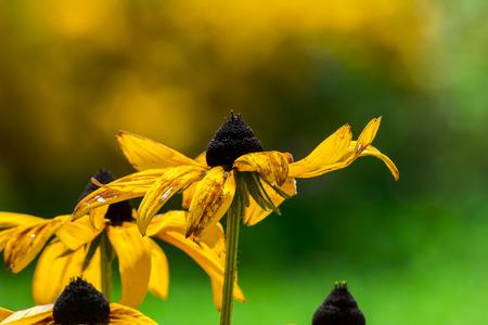 hirta: Black-Eyed-Susan flower or Rudbeckia Hirta flower on smooth bokeh background, at Nishat Bagh, Jammu and Kashmir, India