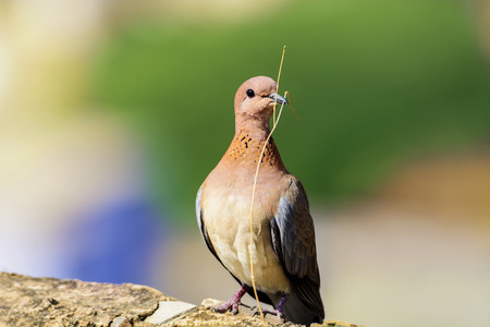 brooding: Closeup of colorful Dove  Pigeon, perched on top of a wall, with small branch isolated