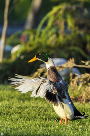 dabbling duck: The Mallard Duck or Wild Duck (Anas platyrhynchos) is a dabbling duck which breeds throughout the temperate and subtropical countries. This duck belongs to the subfamily Anatinae of the waterfowl family Anatidae. The male birds (drakes) have a glossy gree