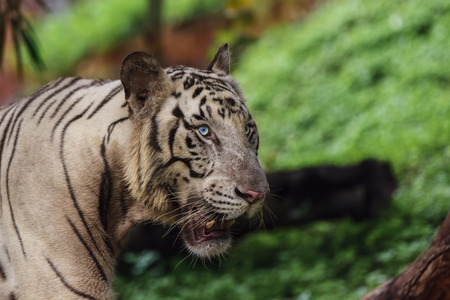 Closeup of a roaring White Tiger looking away with a green flora out of focus background Stock Photo