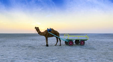 Beautiful sunset camel ride view at great Rann of Kutch, Salty Landscapes, Gujarat, India