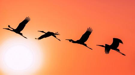 10 月夕方暖かい太陽の設定に対してパノラマを描いたシルエット コウノトリ飛行 写真素材