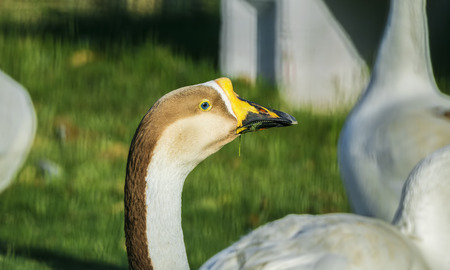 Closeup of a Mute Swan Bird head eating grass and looking away
