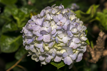 Hydrangea macrophylla is a species of flowering plant in the family Hydrangeaceae. It is a deciduous shrub with large heads of pink, violet or blue flowers in summer and autumn. Stock Photo