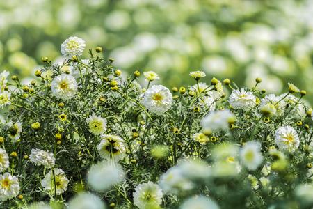 Beautiful white marigold flowers sourrounded by green and yellow beautiful white marigold flowers sourrounded by green and yellow leaves in a garden stock photo mightylinksfo