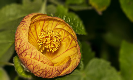 Closeup of a beautiful Abutilon Pictum (Redvein Abutilon) flower in a garden. It is cultivated as a popular ornamental plant, for use in gardens in subtropical climates. The yellow to orange-red bell shaped flowers have prominent dark red veining, with fi