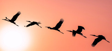 Panoramic Silhouette of Painted Stork flying against the setting Sun in a warm October evening