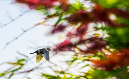 White color Indian Fantail Pigeon in flight with colorful tress out of focus background. It is a breed of fancy pigeon developed over many years of selective breeding.