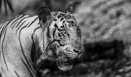 Gros plan d'un tigre blanc rugissant regardant en noir et blanc avec une flore verte floue Banque d'images - 80598657