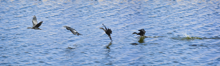 Sequential frames of a Cormorant bird diving into the Man Sagar lake for fish and then flying away
