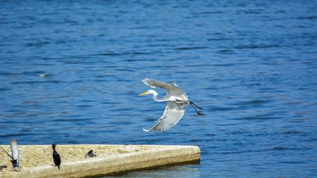 sagar: A great white Heron bird flying just over rippled water of the Man Sagar lake in Jaipur, India Stock Photo