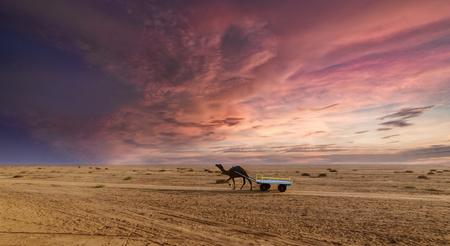 Schöne Sonnenuntergang Kamel Fahrt Blick auf große Rann von Kutch, Salzige Landschaften, Gujarat, Indien Standard-Bild - 84572126