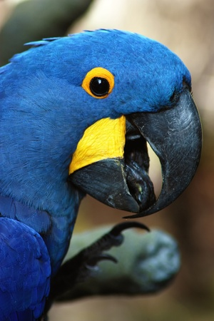 A head shot of a blue macaw.