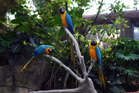 A trio of colorful macaws hanging out.