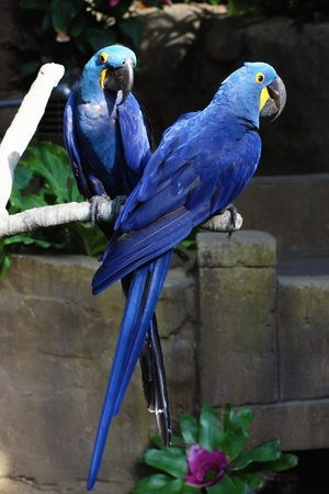 A couple of blue macaws hanging out.