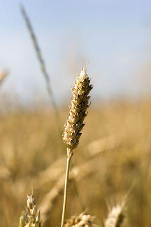 barley Stock Photo - 7671198