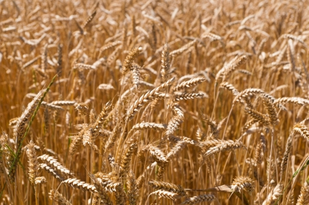 Gold barley plants on summer background Stock Photo - 14640269