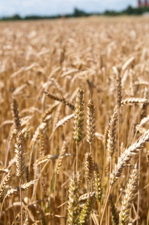 Gold barley plants on summer background Stock Photo - 14640130