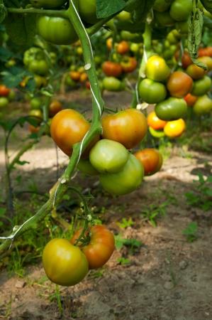 grow up tomatos on farm Stock Photo - 14640262