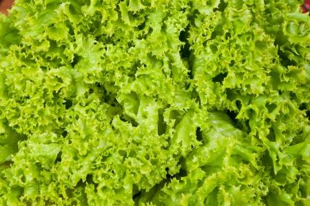 Romaine lettuce photo as a background -closeup shoot Stock Photo - 20353704