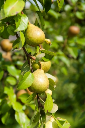 Green organic wild pear from Poland photo