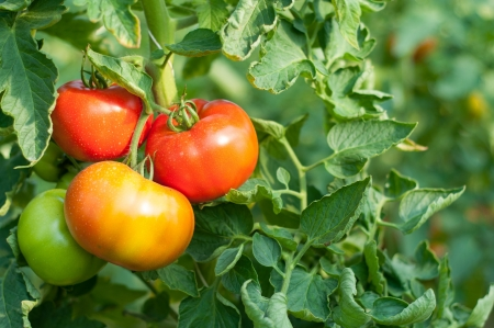 Polish red organic tomato plant and fruit in the evening light