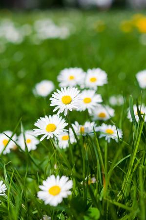 Meadow with daisy flower - spring season