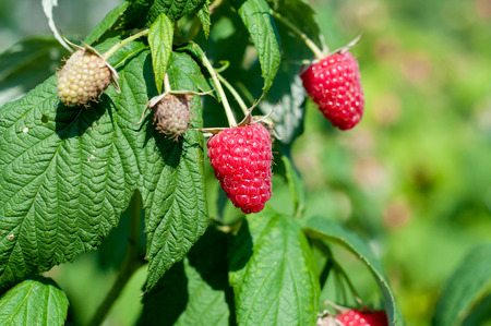 organic raspberry: Organic raspberry on green nature. Stock Photo
