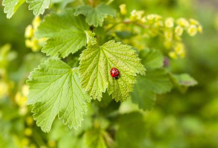 coccinellidae: Red ladybug on a leaf currants