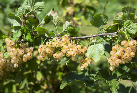 Polish white currant in the garden