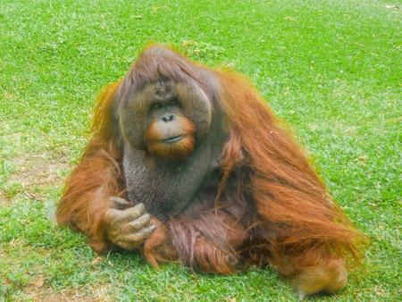 apes: Orangutan apes Stock Photo