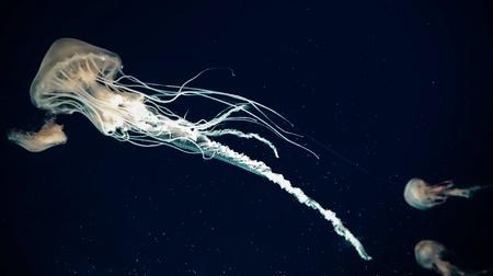 jelly fish: Atlantic sea nettles jelly fish Stock Photo