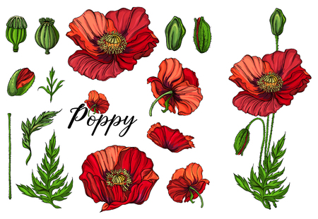 Vector colored bright flowers, buds, pink poppy leaves.