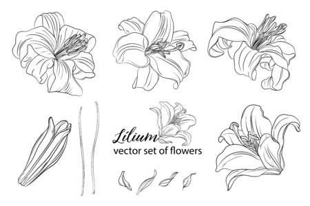 vector set of flowers and Lily buds. Lílium.