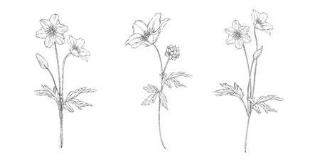 vector floral black and white composition set with anemone flowers Illustration