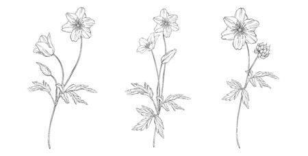 vector floral black and white composition set with anemone flowers Ilustrace