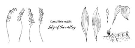 Lily of the valley Ilustrace