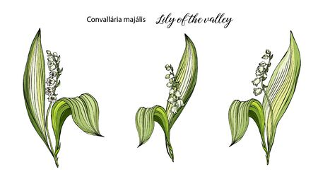 Vector color floral Lily of the valley flowers set. Ilustrace