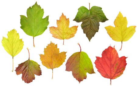 guelderrose: Autumn leaves of a guelder-rose are isolated on a white background Stock Photo