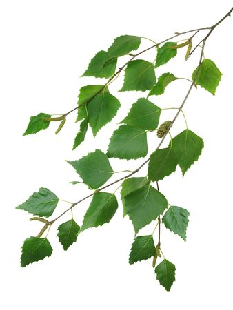 white birch tree:  branch of a birch is isolated on a white background Stock Photo