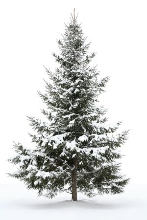 Snow-covered fur-tree on a white background